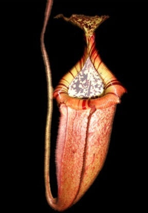 Nepenthes burbidgeae x edwardsiana - Small