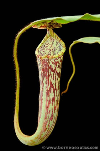 Nepenthes stenophylla - Small