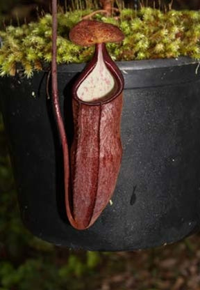 Nepenthes gracillima - Medium
