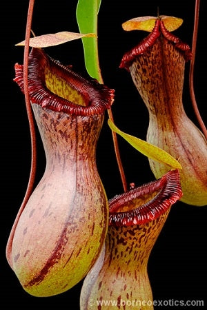 "Nepenthes ventricosa ""Madja-as"" - Small"