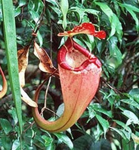 Nepenthes sumatrana - Medium