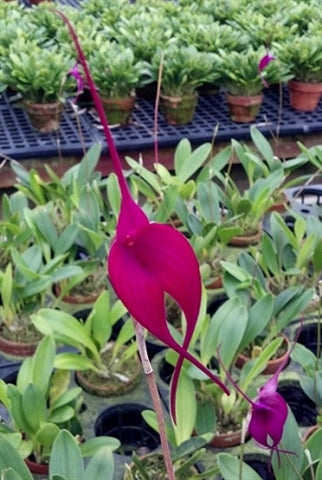 Masdevallia Machu Pichu 'Crown Point'