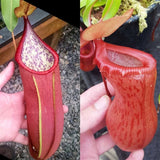 Nepenthes Secret Victory - XS