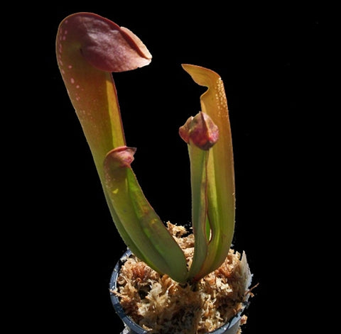 Sarracenia minor - Small/Medium