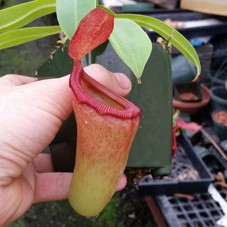 Nepenthes ventricosa x dubia - Large