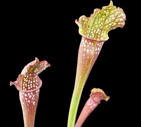 Sarracenia 'Ladies in Waiting' - Medium