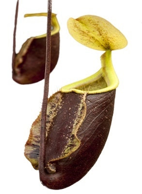 "Nepenthes ""Suki"" - Small"