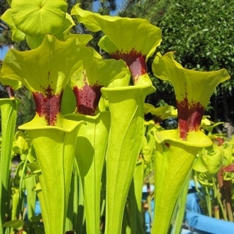 Sarracenia flava var. rugelii - Medium