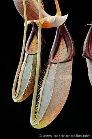 "Nepenthes bongso ""Purple"" - Small"