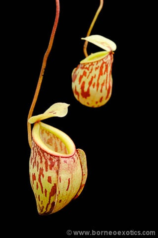 Nepenthes glabrata - Small