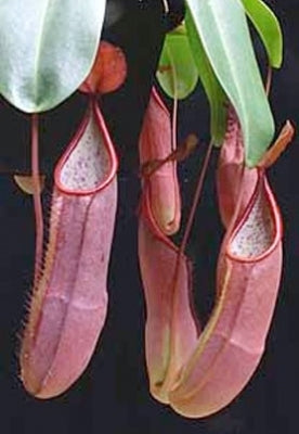 "Nepenthes sanguinea ""Genting Highlands"" - Small"