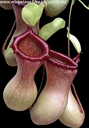 "Nepenthes ventricosa ""Black Peristome"" - Small"