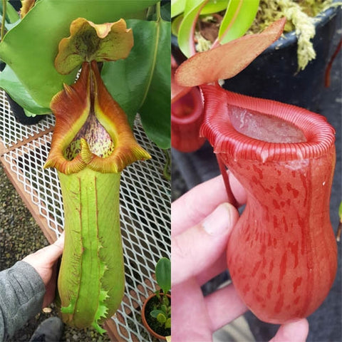 Nepenthes Titanic Victory - xs/small