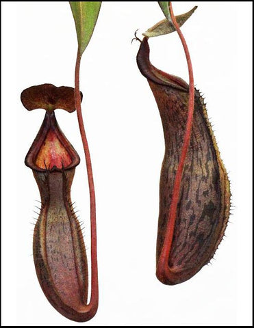 Nepenthes ramispina x spectabilis