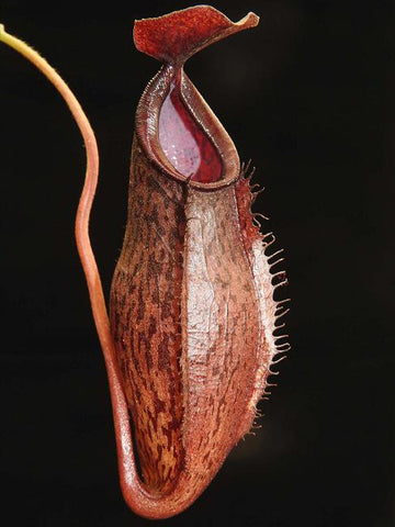 Nepenthes ramispina x aristolochioides