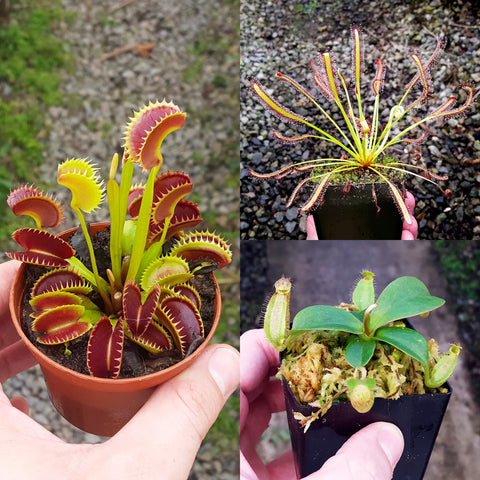 Carnivorous Plant Beginner Collection