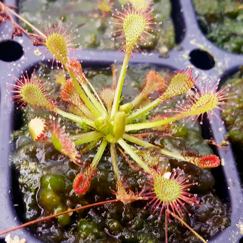 "Drosera ""Sun Drop"""