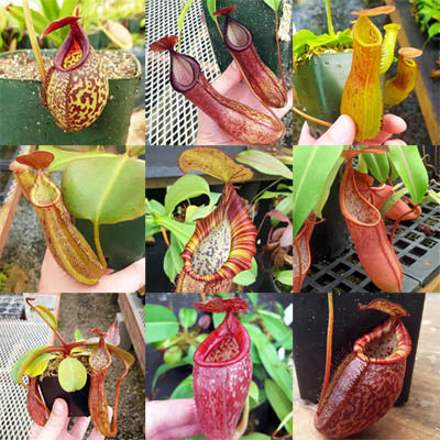 Nepenthes Grab-Bag