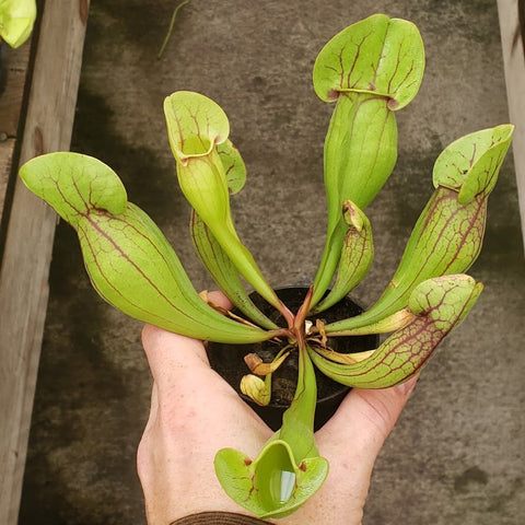Sarracenia purpurea - Greenhouse Grown