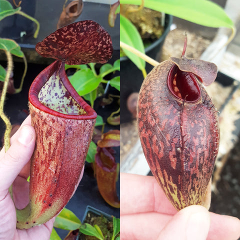 Nepenthes Glorious Angel