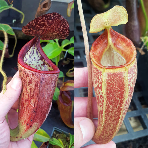 Nepenthes Glorious Triumph