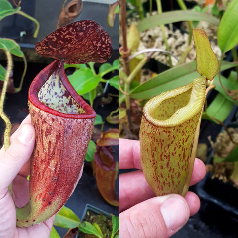 Nepenthes Glorious Trouble