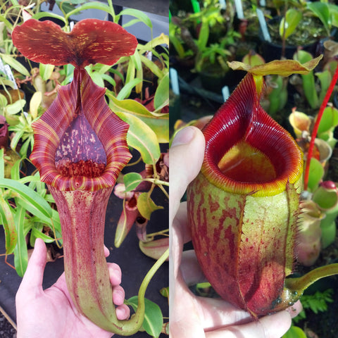Nepenthes Lovely Mirror