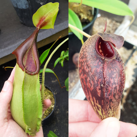 Nepenthes Stoic Angel