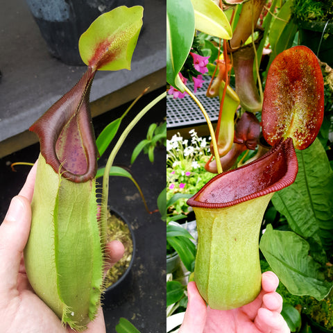 Nepenthes Stoic Beast
