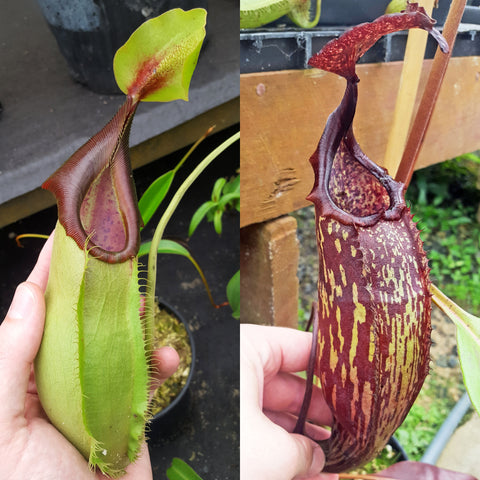 Nepenthes Stoic Machine