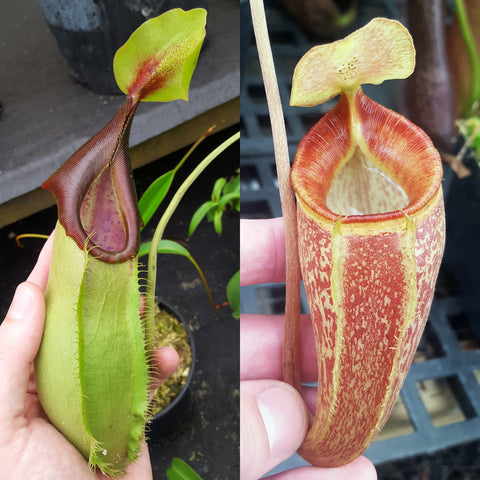 Nepenthes Stoic Triumph