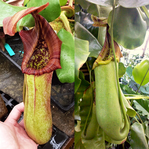 Nepenthes truncata - seed-grown - Nepenthes Temple's Trek