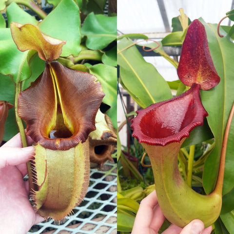 Nepenthes Valiant Battle