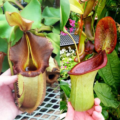 Nepenthes Valiant Beast