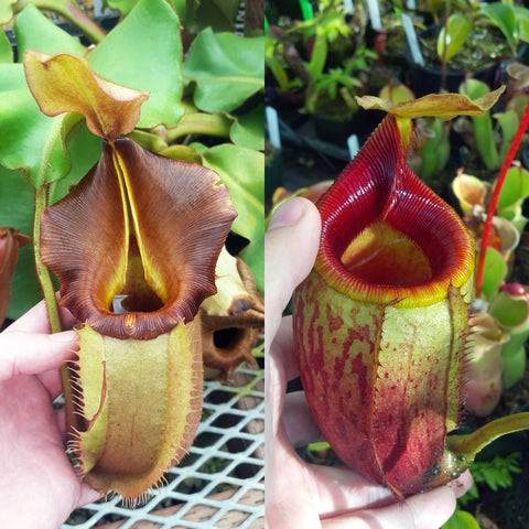 Nepenthes Valiant Mirror