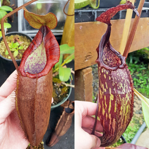Nepenthes Dream Machine
