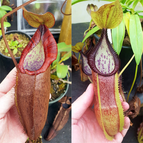Nepenthes Dream Serpent
