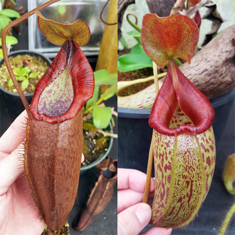Nepenthes Dream Testament