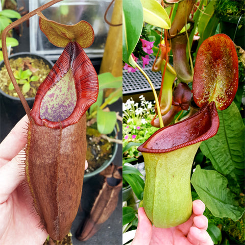 Nepenthes Dreaming Beast