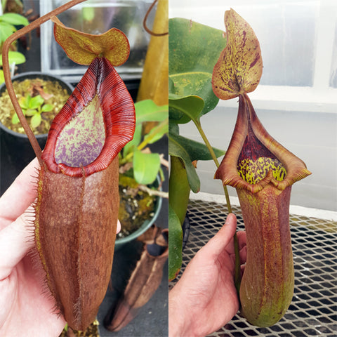 Nepenthes Dreaming Tyrant