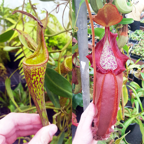 Nepenthes Fanciful Doom
