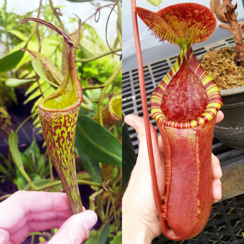 Nepenthes Fanciful Longing
