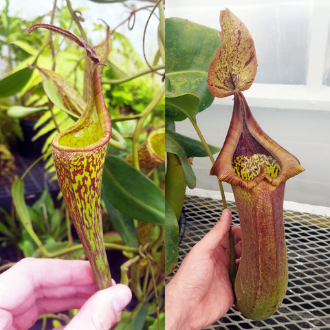 Nepenthes Fanciful Tyrant