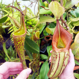 Nepenthes Fancy Tapestry