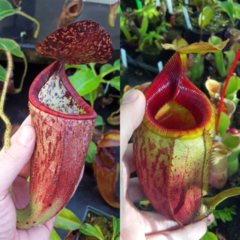 Nepenthes Glorious Mirror