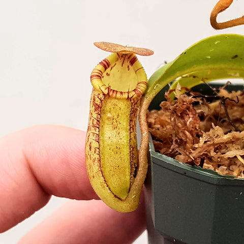 Nepenthes Jolly Savior