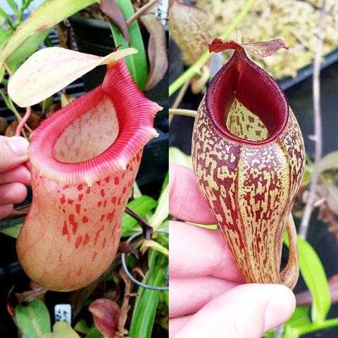 Nepenthes Jolly Twist