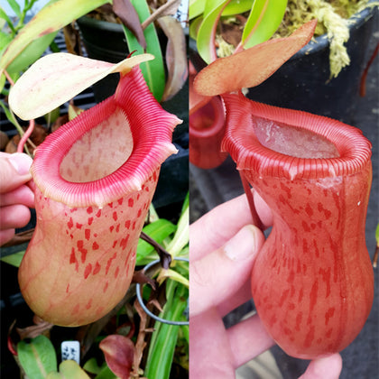 Nepenthes Jolly Victory