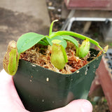 Nepenthes Love Twist
