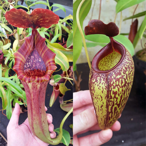 Nepenthes Lovely Artist